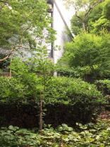 多摩サクラ(澤田美喜記念館内その1)